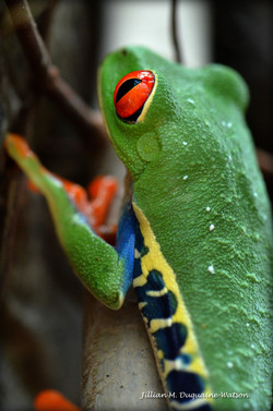 Red Eyed Tree Frog 6238