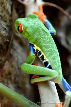 Red Eyed Tree Frog 6232