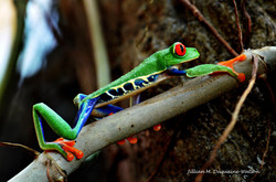 Red Eyed Tree Frog 6208