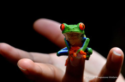 Red Eyed Tree Frog 6192