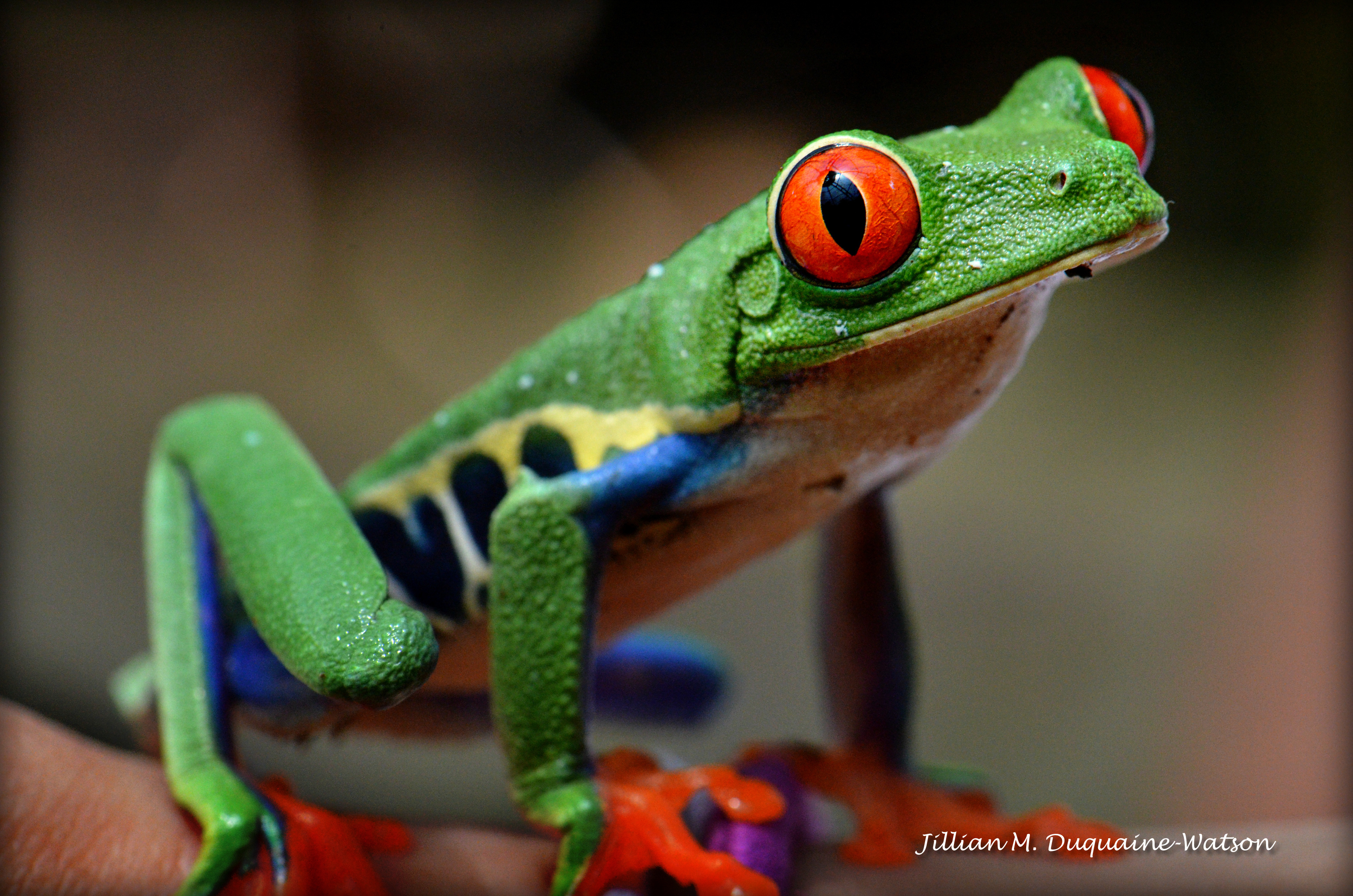 Red Eyed Tree Frog 6267