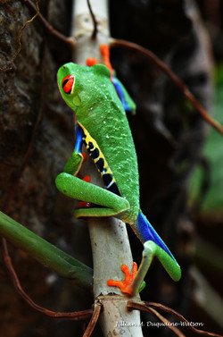 Red Eyed Tree Frog 6223
