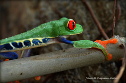 Red Eyed Tree Frog 6213