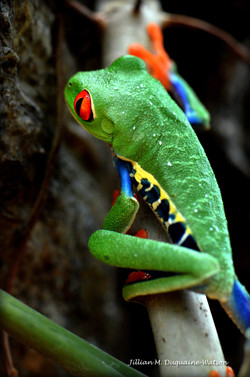 Red Eyed Tree Frog 6230