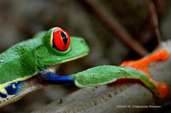 Red Eyed Tree Frog 6215