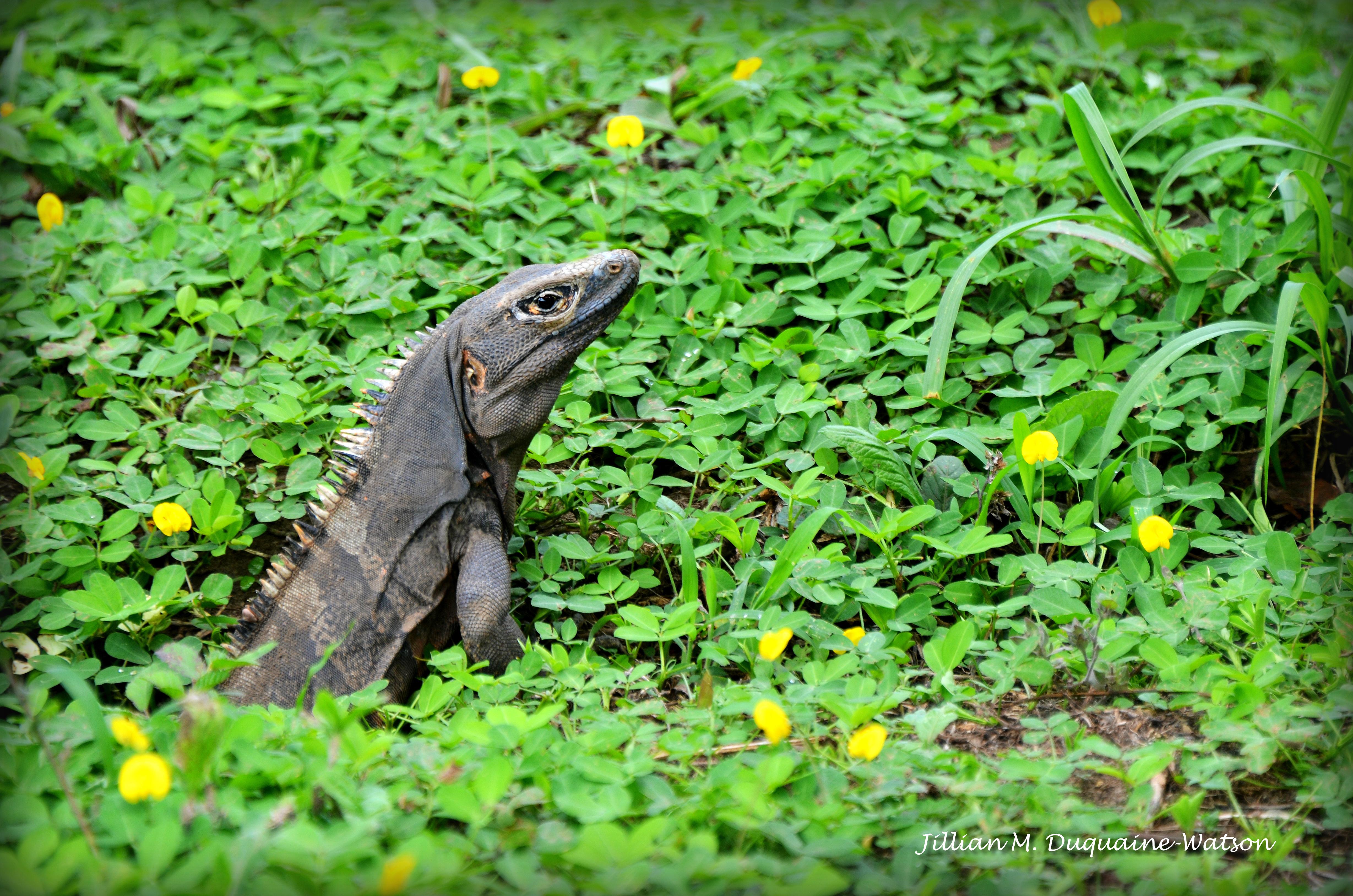 black iguana 2