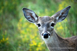 Whitetail Yearling 2