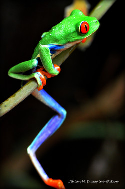 Red Eyed Tree Frog 6195