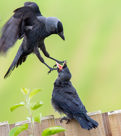 'Grey Backed Crow Attack' by Ossie Bruce