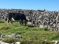 cow grazing species rich grassland.JPG