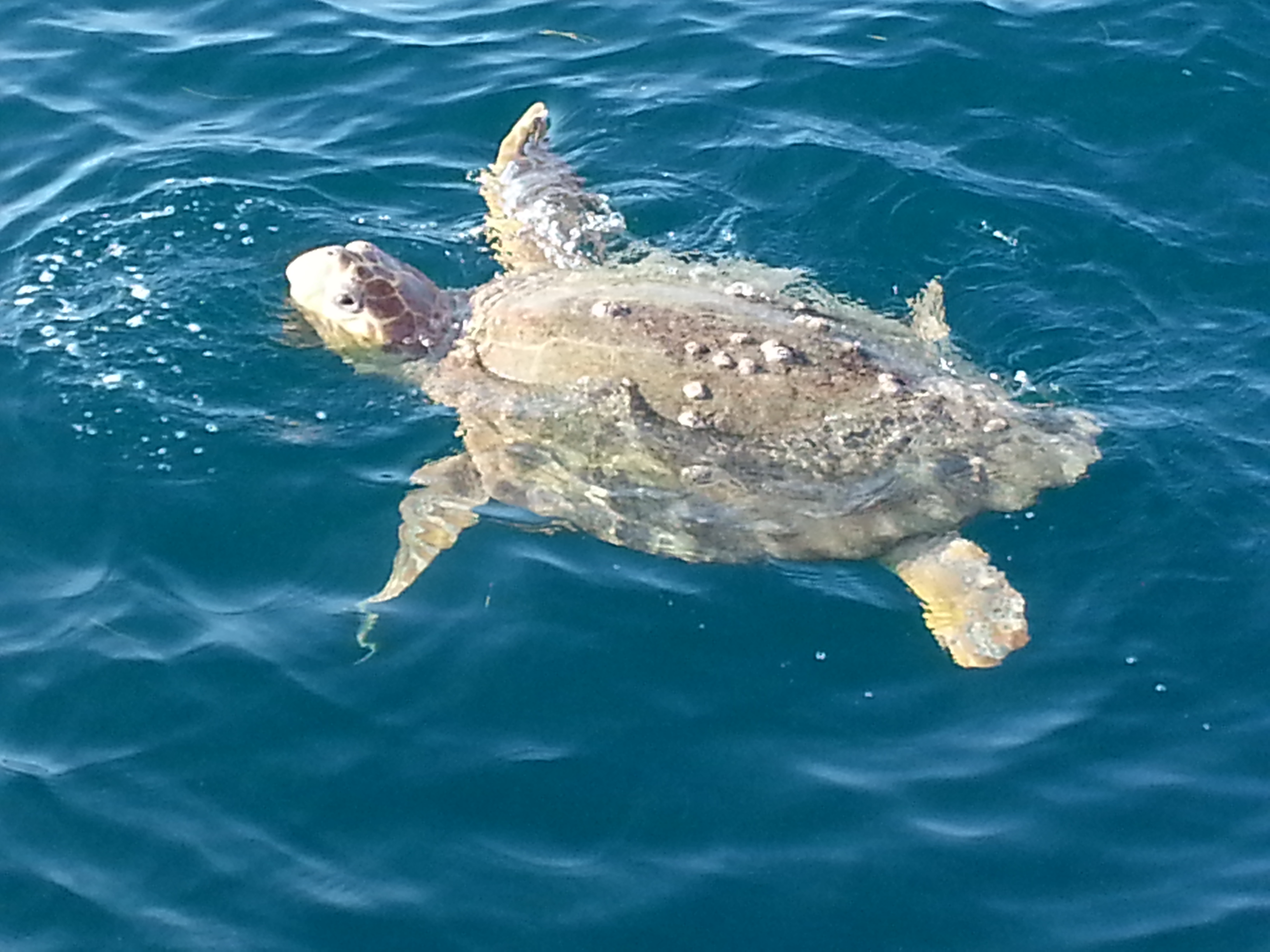 Bent Charters Sea Turtle cool