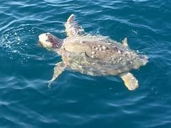 Bent Charters Sea Turtle cool
