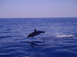 Bent Charters Dolphin/Porpoise