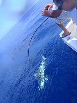 Shark caught offshore Tampa fishing