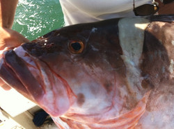 Red grouper Offshore Bent Charters