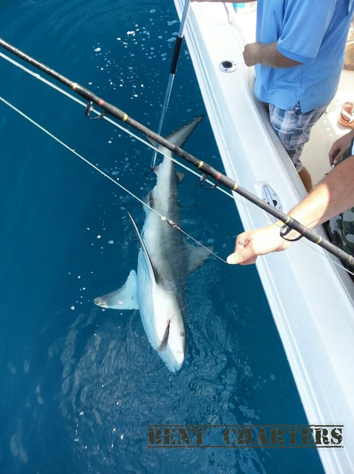 blacktip bent charters fishing shark