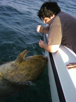 500 lbs of beast Goliath Grouper