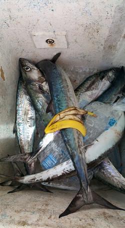 banana bent charters fishing good luck
