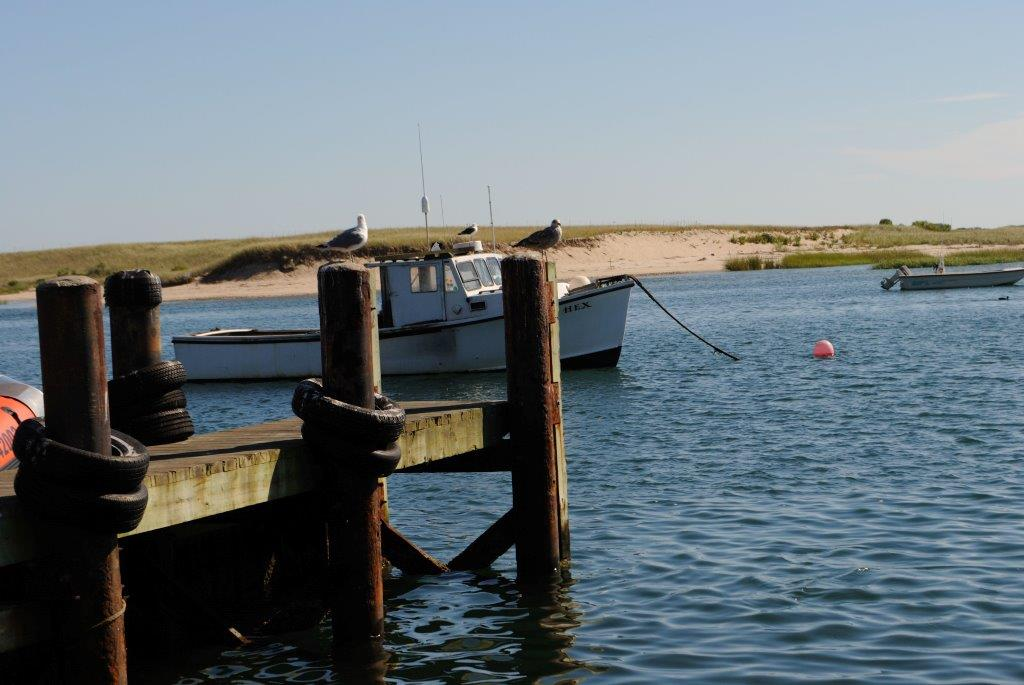 Cape Cod Seagulls