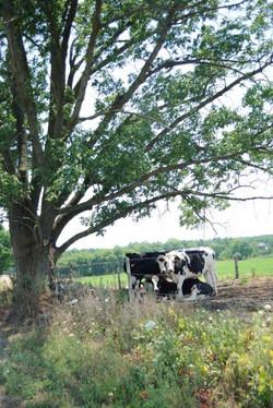 Randall Airport Cows
