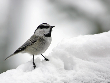 The Chickadee and the Rattlesnake - A Fable
