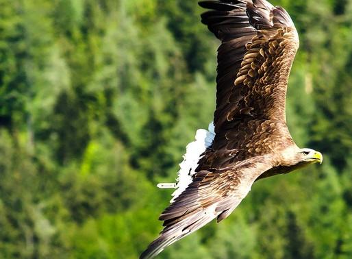 Streng geschützter Kaiseradler getötet