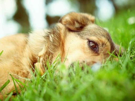 Grasfressen beim Hund