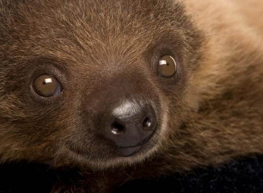 Faultierbaby kommt in Salzburger Zoo zur Welt