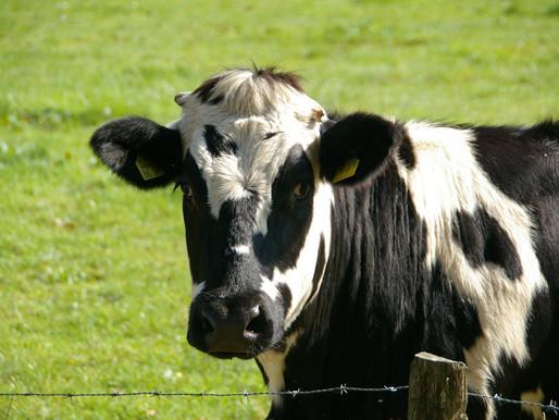 Bauer sperrt Alm aufgrund tödlicher Kuhattacke