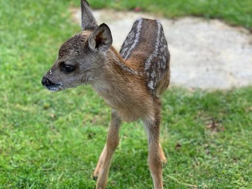 Rehkitz Rehnate vom Wiener Tierschutzverein aufgepäppelt