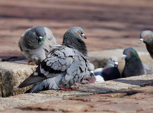 Tierschutzombudsstelle Wien: Tauben bitte nicht füttern!