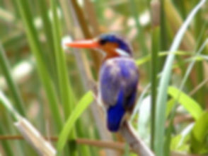 africa_tours_gambia_kingfisher1.jpg