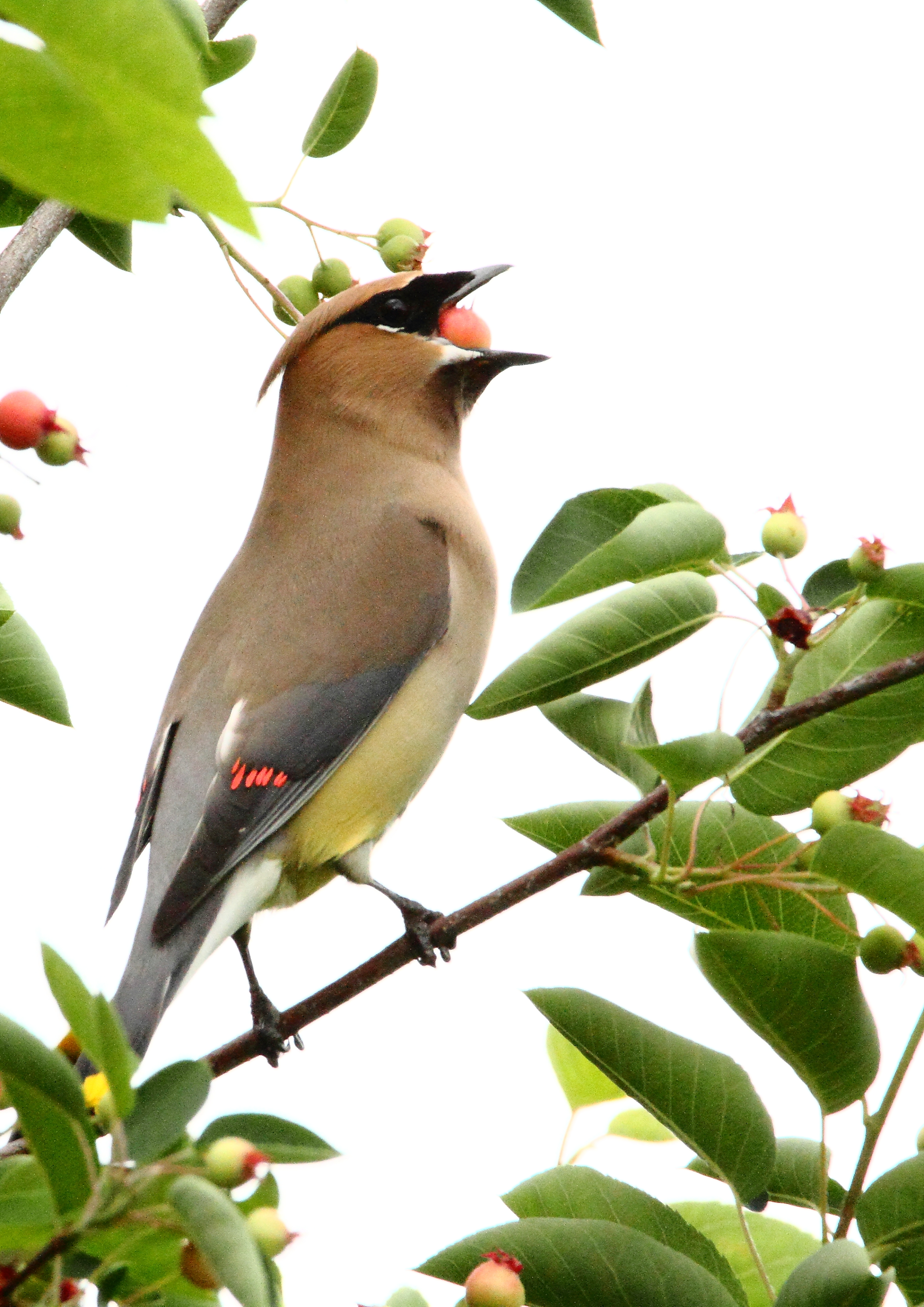 Cedar Waxwing Eating Serviceberry.JPG