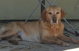 Labrador de chasse.jpg