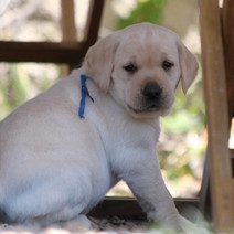 Chiots Labradors
