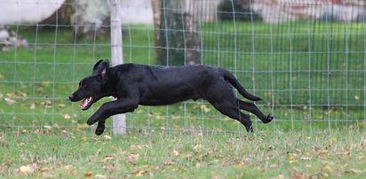 Labrador chasse.JPG
