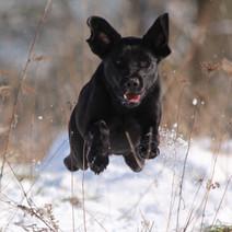 Elevage Labrador