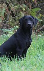 Labrador de chasse