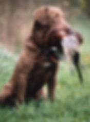 Kik Good, Chesapeke Bay Retriever