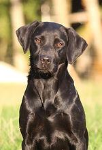 Labrador chasse