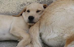 chiot Labrador.JPG