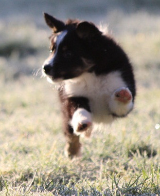 chiot border collie.jpg
