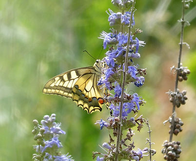 Farfalla macaone