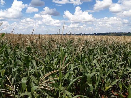 Clima favorável atenua condições da cultura do milho