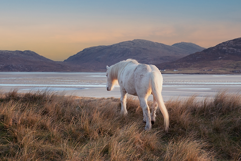 Golden Light, Outer Hebrides Equine Print