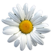 oxeye-daisy-close-up-photography-white-d