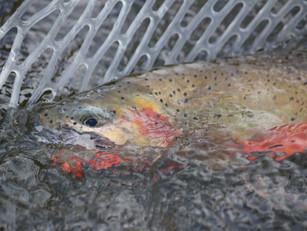 Midsummer Bitterroot River Fishing Report - 6/26/2016