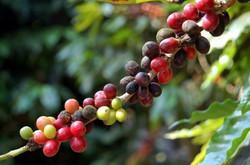 Visita una plantación de cafe