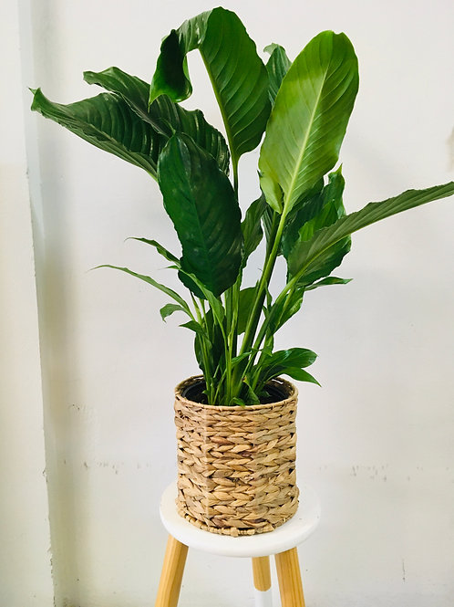 "Spathiphyllum ""Peace Lilly"""