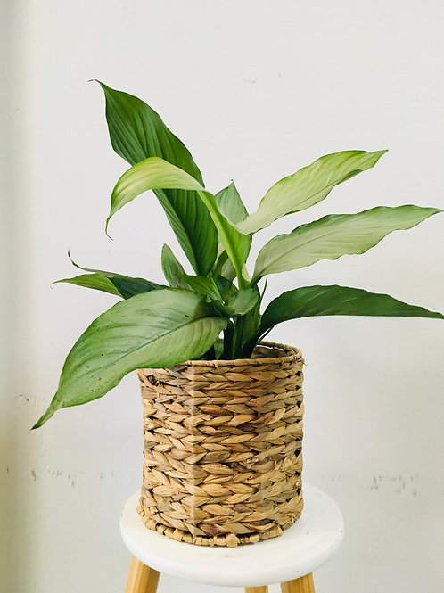 "Spathiphyllum ""Peace Lilly"" Grey."